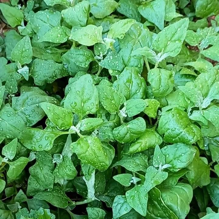 Sul-de-Floripa Horta-Organica-Rose Armacao (7)