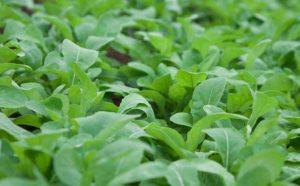 Moita Verde Vegetais