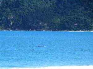 Baleia Jubarte é avistada no Pântano do Sul 1