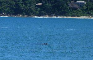 Baleia Jubarte no Pântano do Sul